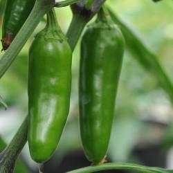sq-chilli-pepper-jalapeno-002.jpg