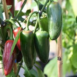 sq-chilli-pepper-jalapeno-fooled-you-002.jpg