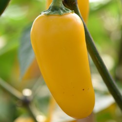 sq-chilli-pepper-jalapeno-numex-lemon-spice-002.jpg