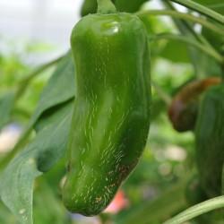 sq-chilli-pepper-jalapeno-numex-primavera-002.jpg