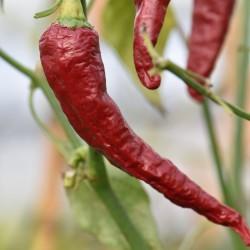sq-chilli-pepper-kashmiri-goan-001