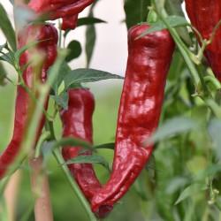 sq-chilli-pepper-kashmiri-north-india-001
