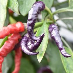 sq-chilli-pepper-numex-april-fools-day-001.jpg