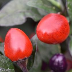 sq-chilli-pepper-numex-centennial-001.jpg