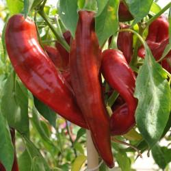 sq-chilli-pepper-numex-heritage-big-jim-003.jpg