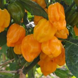 sq-chilli-pepper-numex-suave-orange-006.jpg