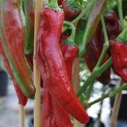 sq-chilli-pepper-numex-sweet-001.jpg