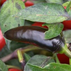 sq-chilli-pepper-pot-black-005.jpg