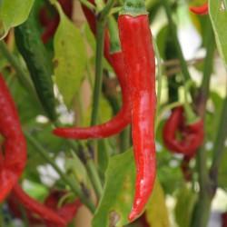 sq-chilli-pepper-ring-of-fire-009.jpg
