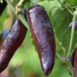 sq-chilli-pepper-serrano-purple-002.jpg