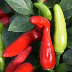 sq-chilli-pepper-super-chilli-003.jpg