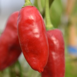 sq-chilli-pepper-tenerife-006