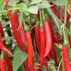 sq-chilli-pepper-tokyo-hot-004.jpg