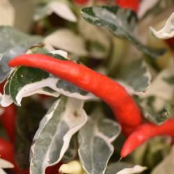 sq-chilli-pepper-ucha-cream-red-001