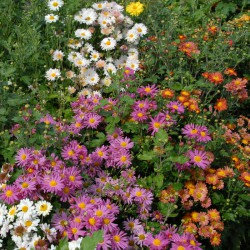 sq-chrysanthemum-indicum-001.jpg