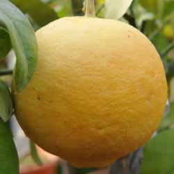 sq-citrus-grapefruit-golden-special-001.jpg