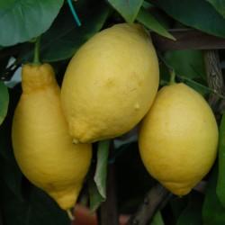 sq-citrus-lemon-005.jpg