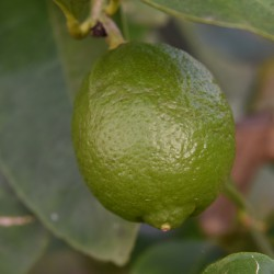 sq-citrus-lime-bearss-001.jpg