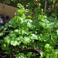 sq-coriander-leisure-002.jpg