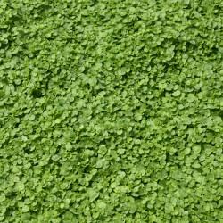 sq-corsican-mint-002