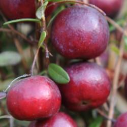 sq-cranberry-early-black-002.jpg