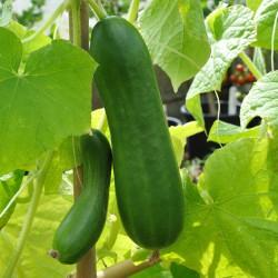 sq-cucumber-la-diva-002.jpg