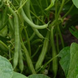 sq-dwarf-french-bean-tendergreen-003.jpg