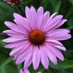sq-echinacea-primadonna-deep-rose-pink-003.jpg