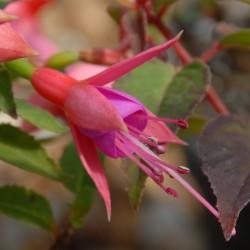 sq-fuchsia-alison-patricia-001.jpg