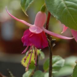 sq-fuchsia-garden-news-001.jpg