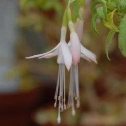 sq-fuchsia-magellanica-var-alba-001.jpg