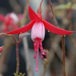 sq-fuchsia-pink-spangles-001.jpg