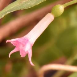 sq-fuchsia-white-clove-002