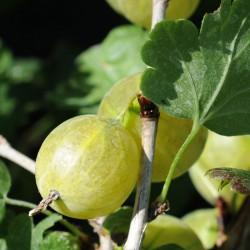 sq-gooseberry-hinnonmaki-yellow-002.jpg