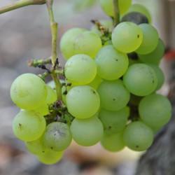 sq-grape-vine-chasselas-dore-de-fontainebleau-001.jpg