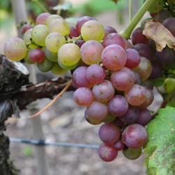 sq-grape-vine-chasselas-rose-royale-001.jpg