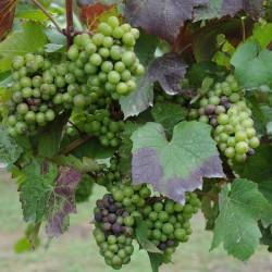 sq-grape-vine-gamay-003.jpg