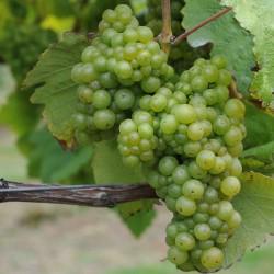 sq-grape-vine-huxelrebe-001.jpg