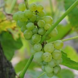 sq-grape-vine-lakemont-001.jpg