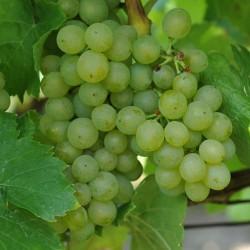 sq-grape-vine-muller-thurgau-001.jpg