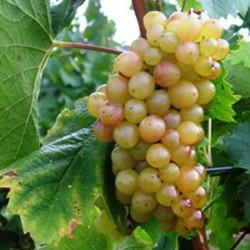 sq-grape-vine-picurka-002.jpg