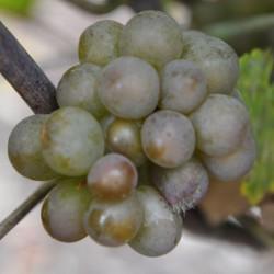 sq-grape-vine-pinot-gris-001.jpg
