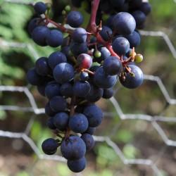 sq-grape-vine-pinot-noir-005.jpg