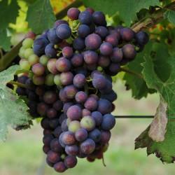 sq-grape-vine-regent-004.jpg