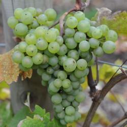 sq-grape-vine-sauvignon-blanc-001.jpg