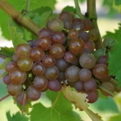 sq-grape-vine-schonburger-002.jpg