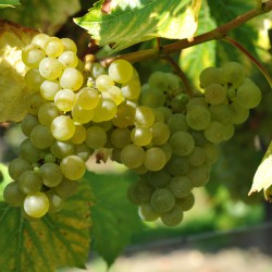 sq-grape-vine-seyval-blanc-004.jpg