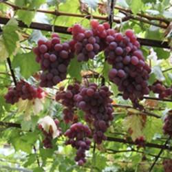 sq-grape-vine-vanessa-001.jpg