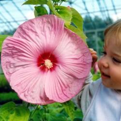 sq-hibiscus-moscheutos-001.jpg