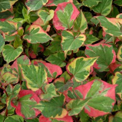 sq-houttuynia-cordata-chameleon-001.jpg